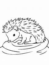 Hedgehog Coloring Animals Printable Template sketch template