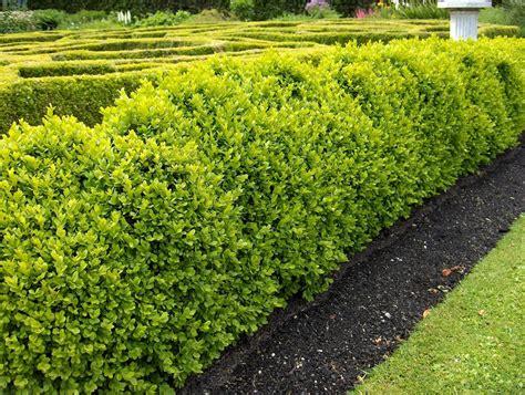 hedge bushes types buxus sempervirens box common boxwood hedge