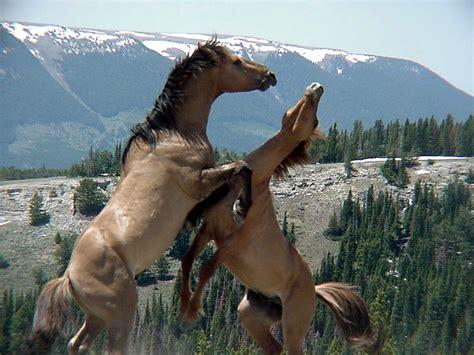 caballos salvajes google desde caballo horses wild wyoming cl guardado salvaje lovell