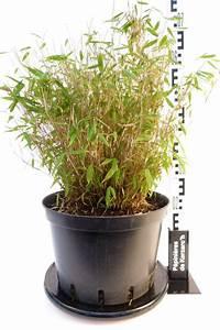 Bambous En Pot : bambou fargesia murielae en pot ljds ~ Melissatoandfro.com Idées de Décoration