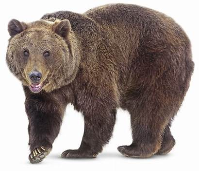 Bears Bear Animals Brown Grizzly America Tundra