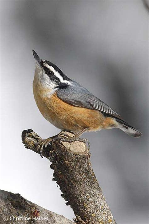 Backyard Identification by Great Backyard Bird Count February 12 15 2010