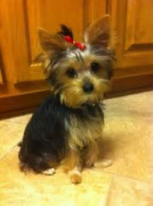 Cute Baby Yorkie Puppy Pictures