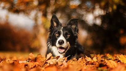 Border Collie Bokeh 4k Muzzle Autumn Dog