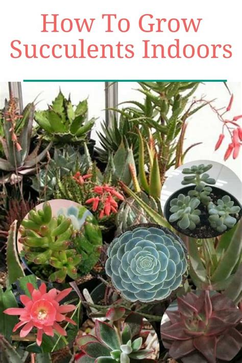 how do succulents grow how to grow succulents indoors
