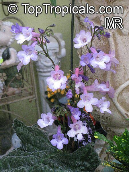streptocarpus sp strep toptropicalscom