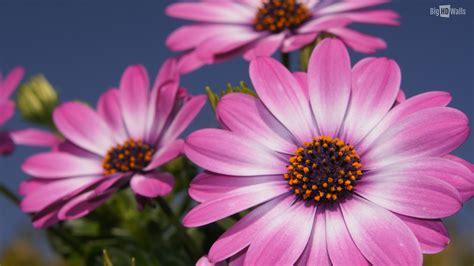 10 Spring Flowers Hd Wallpapers Bighdwalls