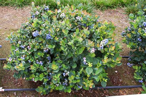 berry shrubs blueberry bushes as hedges www pixshark com images galleries with a bite