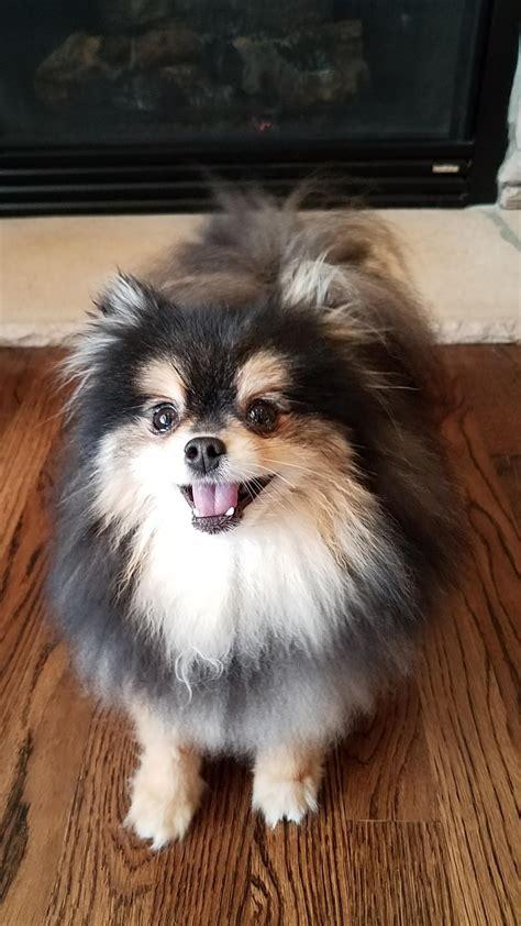 Ee  Pomeranian Ee    Ee  Dog Ee