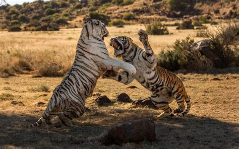 ire   tiger rare moment bengal tigers
