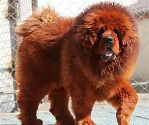 Red Tibetan Mastiff | FCI 2: molossers, pinchers ...