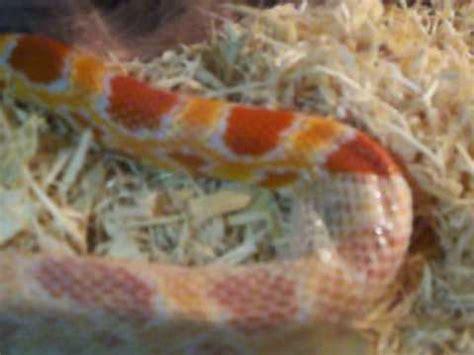 Shedding Snake by Corn Snake Shedding Skin Complete Shed