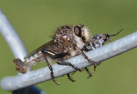 Robber Flies Archives  Page 7 Of 52  What's That Bug?