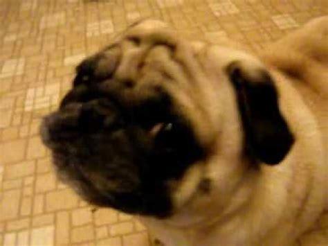 obi  angry pug youtube