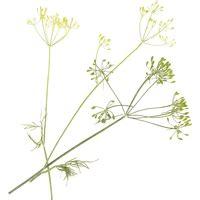 anis vert pimpinella anisum propri 233 t 233 s bienfaits de cette plante en phytoth 233 rapie doctissimo
