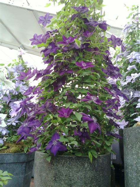 can i plant clematis in a pot clematis amethyst grown from a pot flowers plants gardening clematis