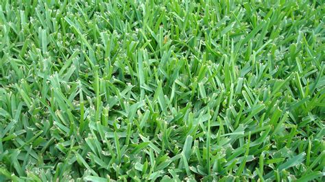 types of grasses which type of grass should i plant in orlando
