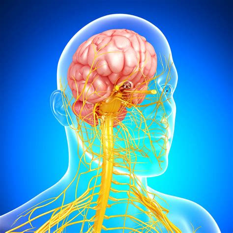 nervous system  head  brain  blue stock illustration illustration  nerves healthcare