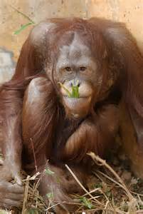 Orangutan Animals