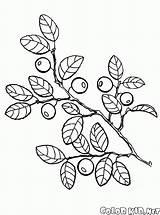 Berries Coloring Blueberries sketch template