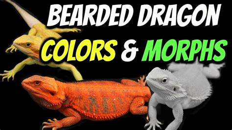 colors of dragons types of bearded dragons colors morphs explained