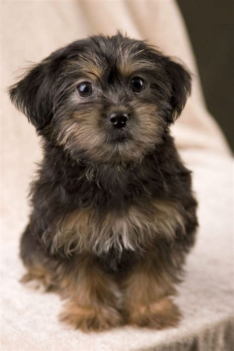 do yorkie poos bark a lot yorkie poo puppies rescue pictures information