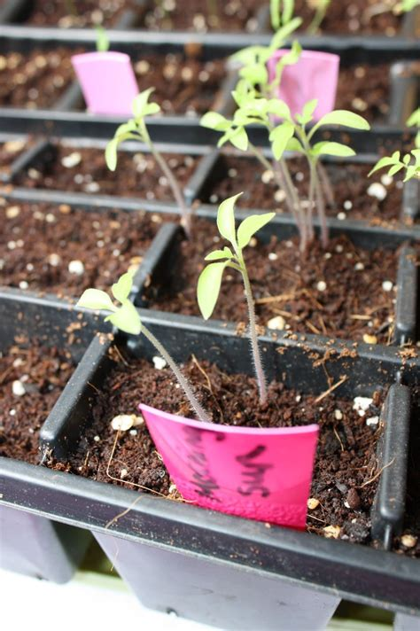 The Learning Garden  Starting Seeds Indoors The