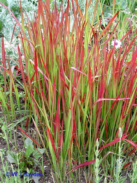 ornamentalgrasses