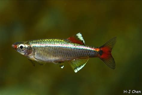 white cloud minnow cold water fish demitry co nz