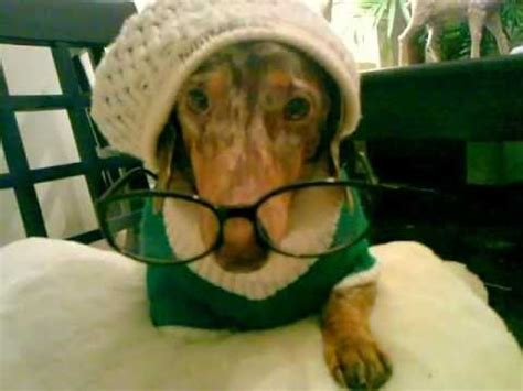 funniest wiener dog embarrassed dachshund youtube