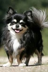 Valentine Chihuahua Long Hair Pictures to Pin on Pinterest ...