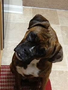18 best Boxer Dogs Head Tilt images on Pinterest