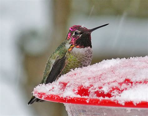 anna s hummingbirds winter in the north birdnote