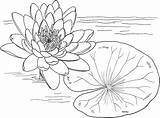 Coloring Water Pages Lily Printable sketch template