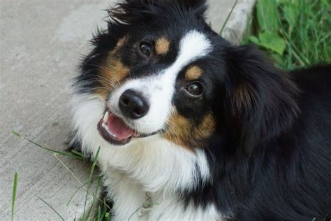 australian colors aussie color aussie eye color alangus mini aussies a