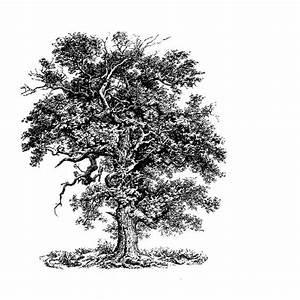 oak tree drawing....something like this to be coming out ...