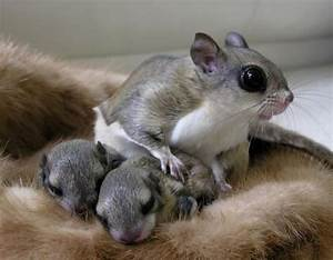 A Japanese dwarf flying squirrel with babies | opossum ...