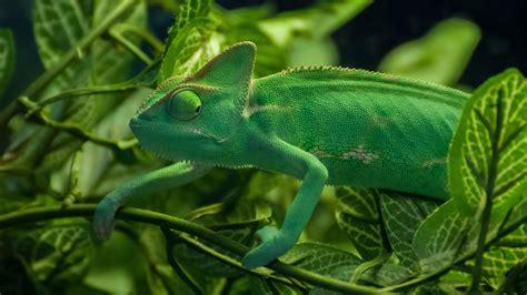 chameleon archives hdwallsourcecom