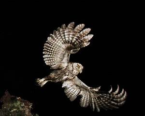 Eastern Screech Owl With Mouse In Talons Photograph by ...