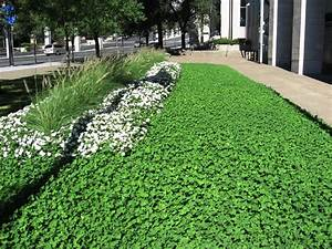 White clover lawn. Drought
