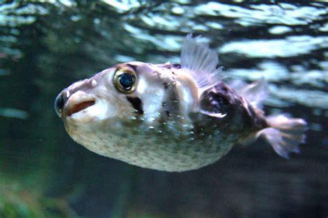 Pufferfish Vs Porcupinefish