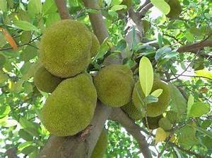 Giant Jackfruit Seed, Tropical Novelty ,Worlds Fruit - Ad ...