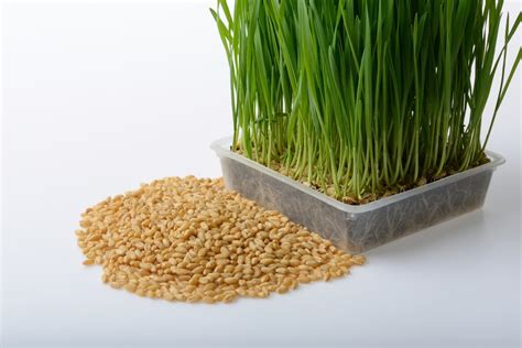 triticale organic sprouting seeds hometown seeds