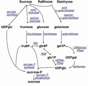 Metabolic Pathway Of Sugar Metabolism In Melon Fruit