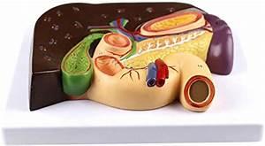 Amazon Com   Anatomical Model Liver  Spleen And Pancreas