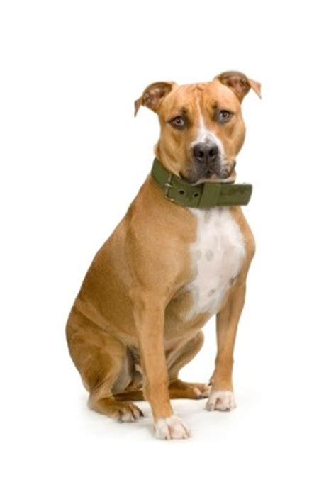 American Staffordshire Terrier Futter
