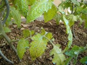 Feuille De Tomate : point noir sur feuille tomate jardins du nord forum ~ Melissatoandfro.com Idées de Décoration