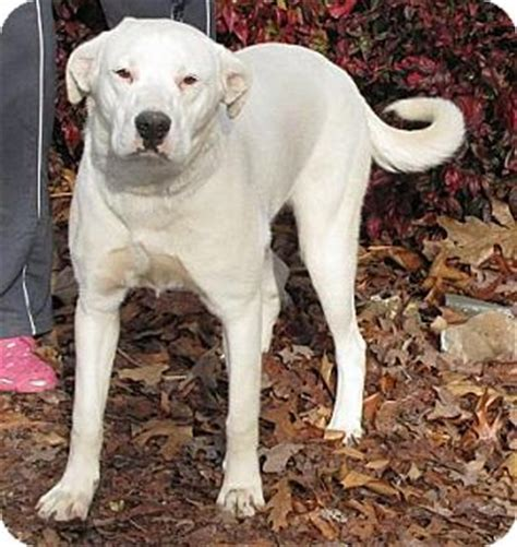 frosty adopted dog oakland ar dogo argentino