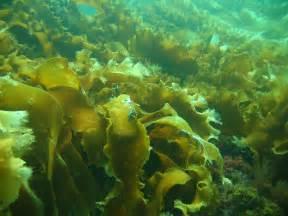 Ocean Seaweed