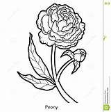 Peony Coloring Flower Preview sketch template